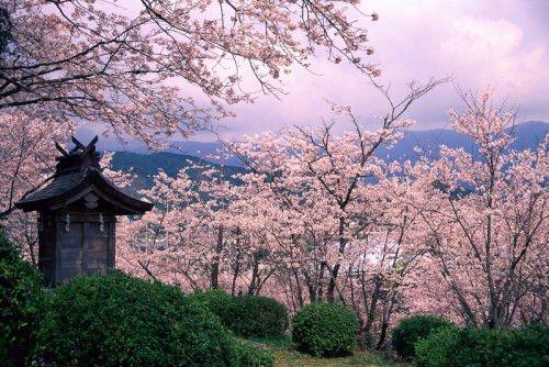 2018日本櫻花季:想要搶先看櫻花盛放嗎?那就去南方的九州吧!福岡 長崎 熊本 佐賀 宮崎 鹿兒島 大分