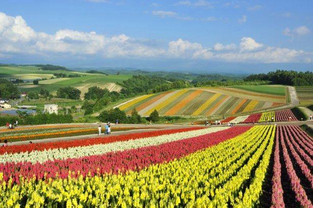 北海道美瑛「四季彩之丘」推薦美景與名物美食