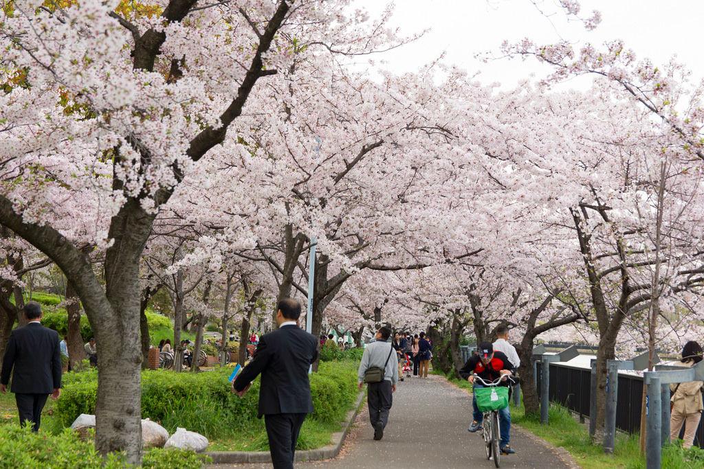 日本近畿地區賞櫻散策,漫步古色古香城鎮感受粉紅色視覺饗宴