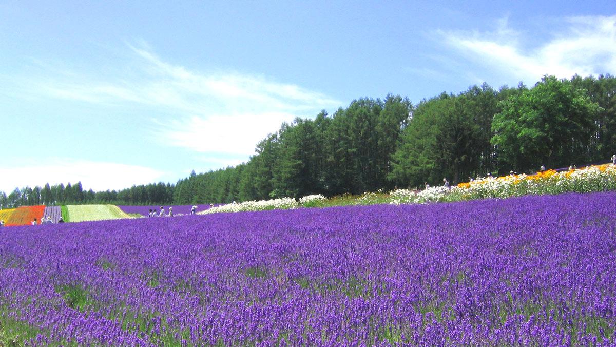 【薰衣草特輯】北海道富良野尋覓薰衣草花海 紫不住的浪漫小旅