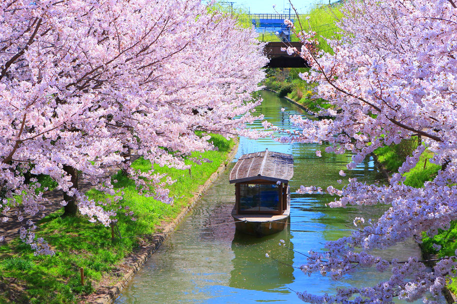 2018 Japan Kyoto Cherry Blossom Forecast And Best Viewing Spots!
