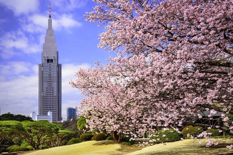 2018 Japan Tokyo Cherry Blossom Forecast And Best Viewing Spots!